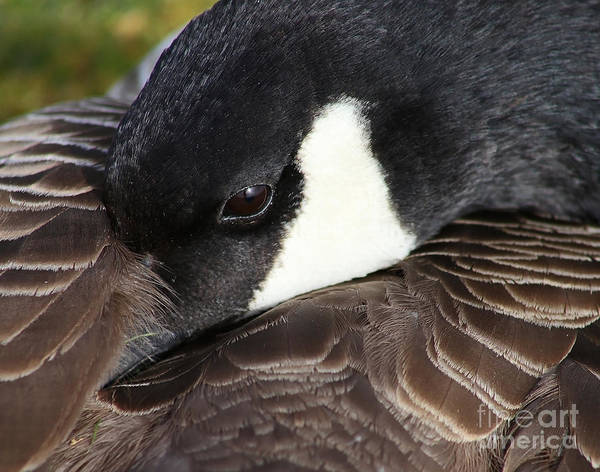 Photograph - Canada Goose At Rest by Sue Harper