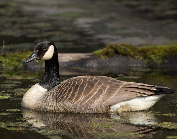 Canada Goose Art Print by Brian Magnier