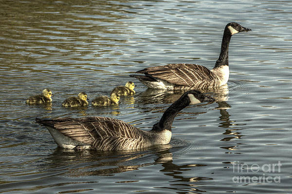 Photograph - Canada Goose Family by Jeremy Hayden