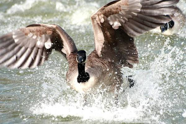Photograph - Canada Goose Fight by Jeremy Hayden