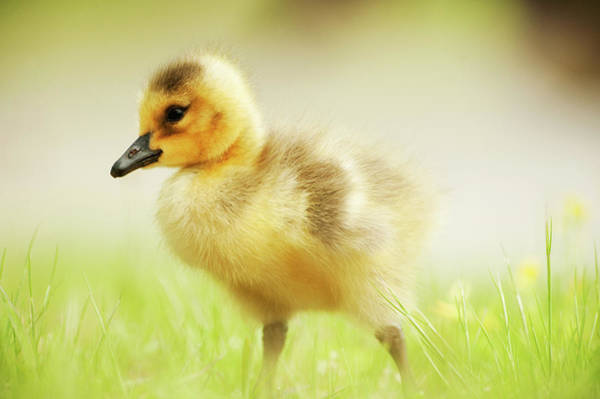 Canada Goose Gosling In May Art Print