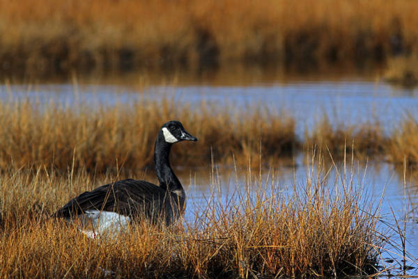 Photograph - Canada Goose by Juergen Roth