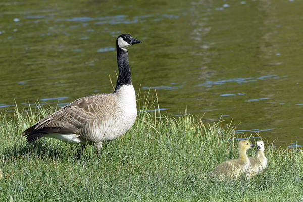 Photograph - Canada Goose Mom With Goslings by Bruce Gourley