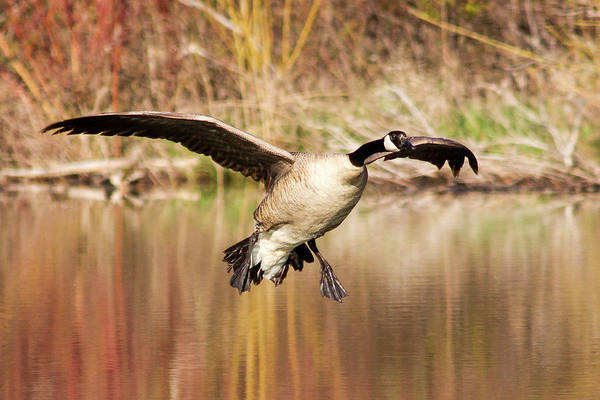 Canada Goose Wall Art - Photograph - Canada Goose Prepares To Land In Small by Chuck Haney