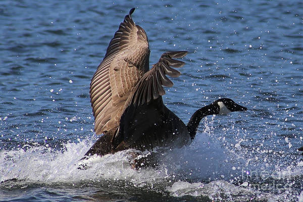 Photograph - Canada Goose Splash by Sue Harper