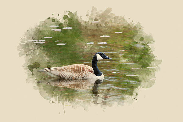 Woodland Animals Mixed Media - Canada Goose Watercolor Art by Christina Rollo