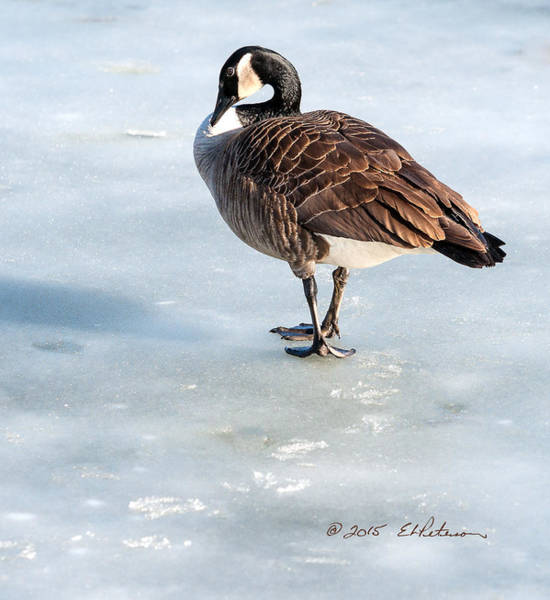 Photograph - Canada Goose Web Prints by Edward Peterson