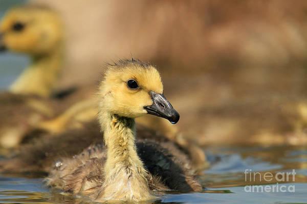 Gosling Photograph - Canada Gosling by Jens C. Schmitz