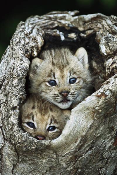Photograph - Canada Lynx Kitten Pair by Konrad Wothe