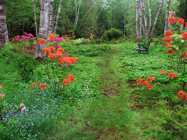 Forget Me Not Photograph - Canada, New Brunswick, Garden And Forest by Jaynes Gallery
