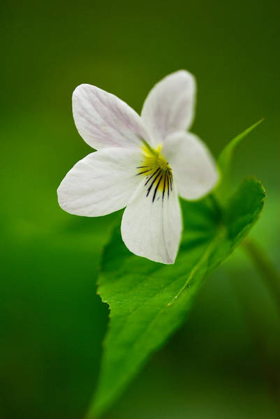 Photograph - Canada Violet Macro by Photography  By Sai