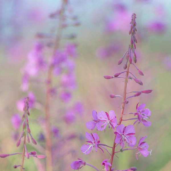 Wall Art - Photograph - Canada, Yukon Fireweed Plant In Bloom by Jaynes Gallery