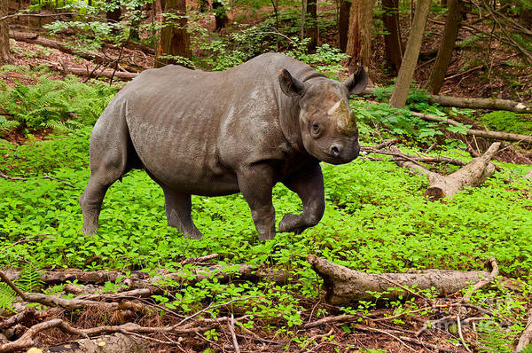 Photograph - Canadian Boreal Rhino Or Rhinoceros Canadensis by Les Palenik