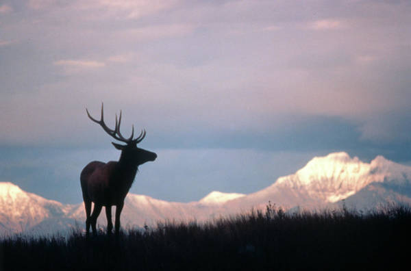 Wapiti Photograph - Canadian Elk Cervus Canadensis by Animal Images