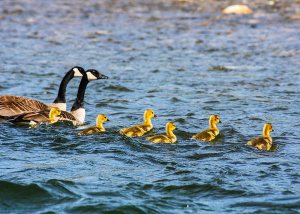 Photograph - Canadian Geese And Goslings by Omaste Witkowski