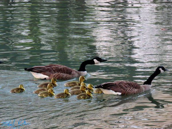 Ocean Wall Art - Photograph - Canadian Geese Family by Michael Rucker