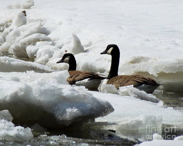 Photograph - Canadian Geese Icebreakers by Kristen Fox