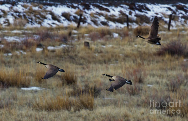 Waterfowl Wall Art - Photograph - Canadian Geese In Flight by Mike  Dawson
