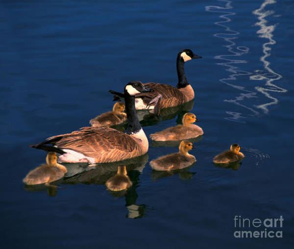 Ryan Gosling Photograph - Canadian Geese by Ron Sanford