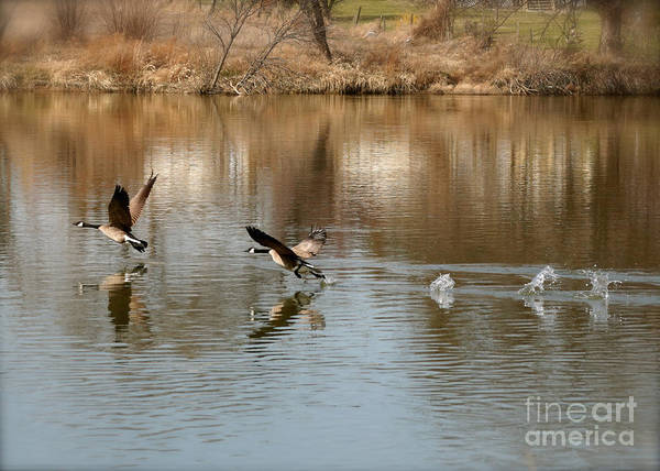 Photograph - Canadian Geese Takeoff by Carol Groenen