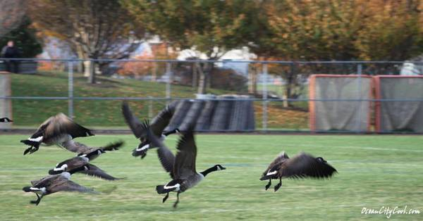 Photograph - Canadian Geese Taking Flight by Robert Banach