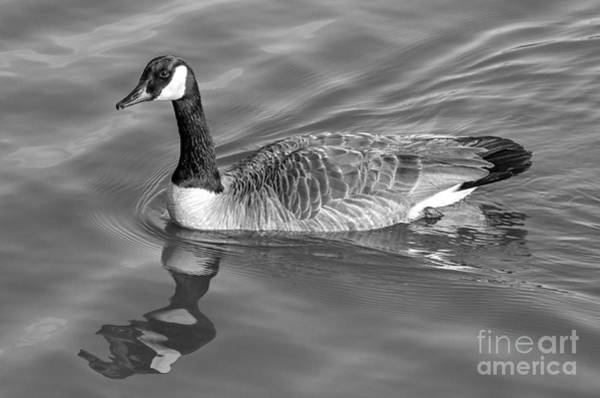 Photograph - Canadian Goose by Bernd Laeschke