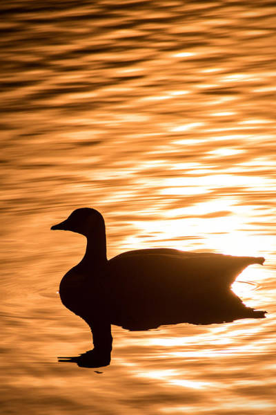 Photograph - Canadian Goose by Don Johnson