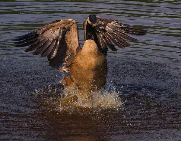 Goose Digital Art - Canadian Goose Smooth Landing by Chris Flees