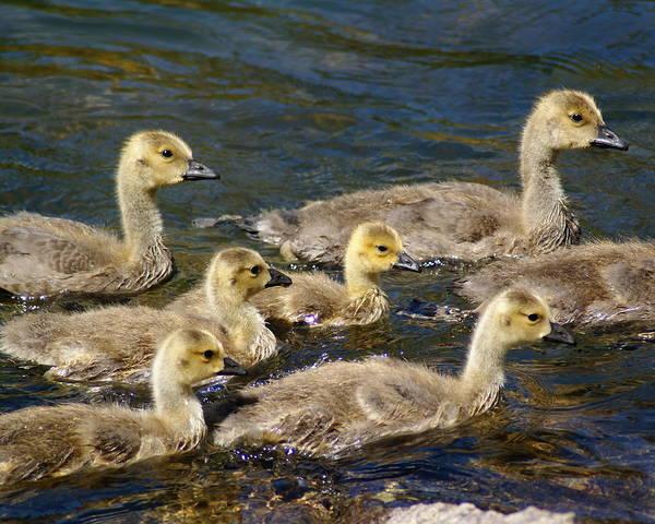Photograph - Canadian Goslings On The Spokane River by Ben Upham III