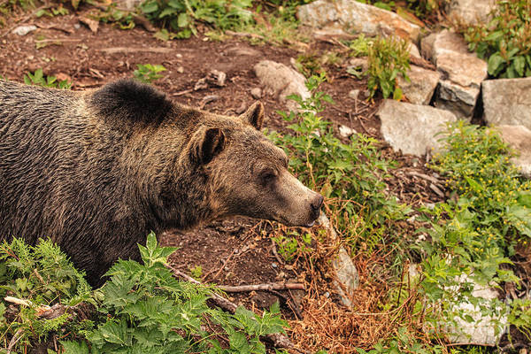 Photograph - Canadian Grizzly by Stuart Gordon