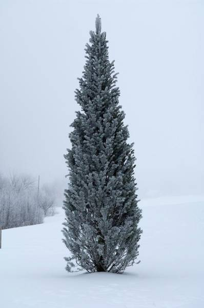 Coniferous Tree Photograph - Canadian Pine In Winter by Lawrence Lawry/science Photo Library