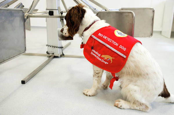 Spaniel Photograph - Cancer Detection Dog Training by Louise Murray