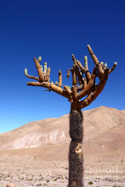 Photograph - Candelabro Cactus In The Atacama Desert by James Brunker