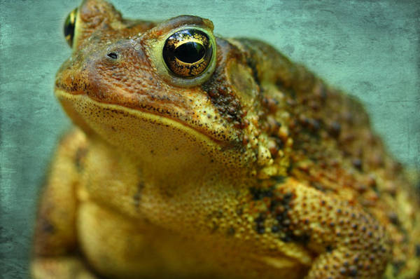 Frog Photograph - Cane Toad by Michael Eingle