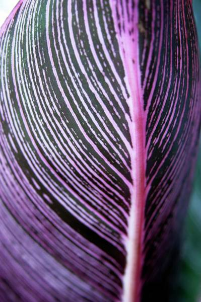 Leaf Venation Wall Art - Photograph - Canna Lily Leaf (canna Sp.) by Stephen Harley-sloman/science Photo Library