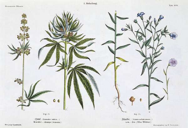 Weeds Painting - Cannabis And Flax by Matthias Trentsensky