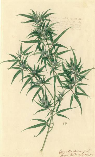 Dicot Wall Art - Photograph - Cannabis Sativa by Natural History Museum, London