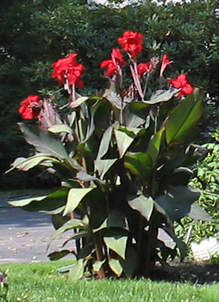 Photograph - Cannas by Linda Feinberg