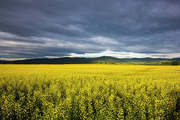 Canola Wall Art - Photograph - Canola Field In Morning Light by Chuck Haney