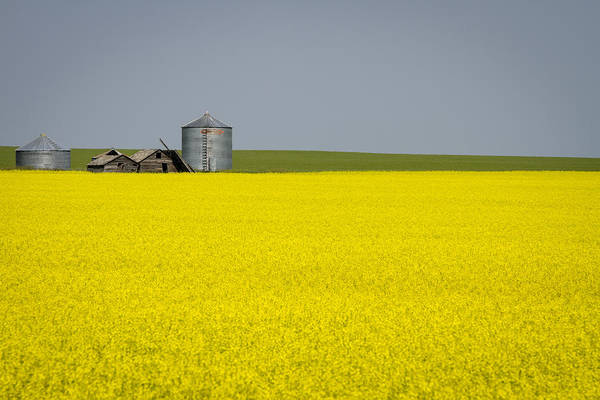 Photograph - Canola Field by Windy Corduroy