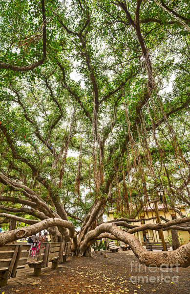 Indian Banyan Photograph - Canopy - Banyan Tree Park In Maui by Jamie Pham