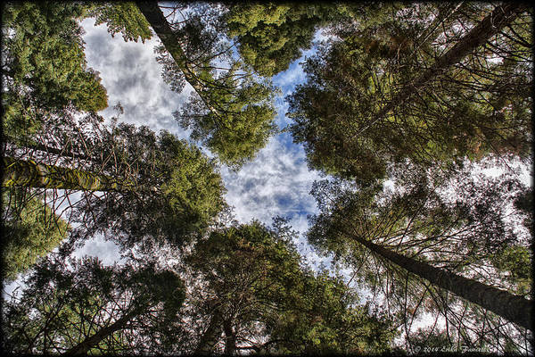 Photograph - Canopy Of Trees by Erika Fawcett