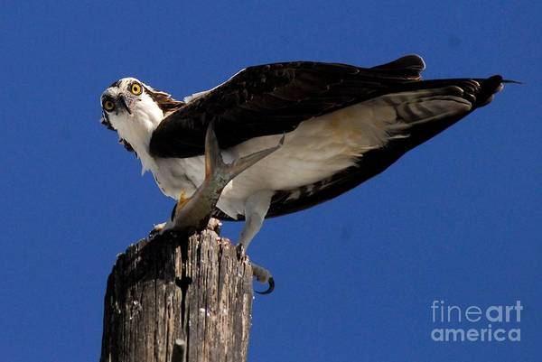 Fish Eagle Photograph - Cant Hide From Her by Quinn Sedam