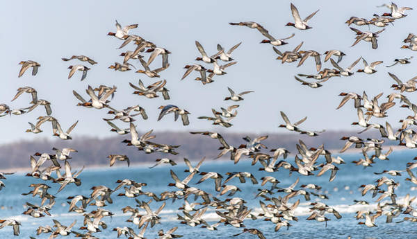 Photograph - Canvasback Duck Chaos by Patrick Wolf