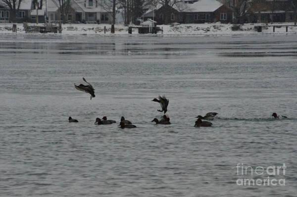 Photograph - Canvasback Ducks Landing In Water by Randy J Heath