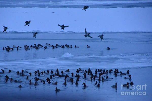Photograph - Canvasback Ducks Landing by Randy J Heath