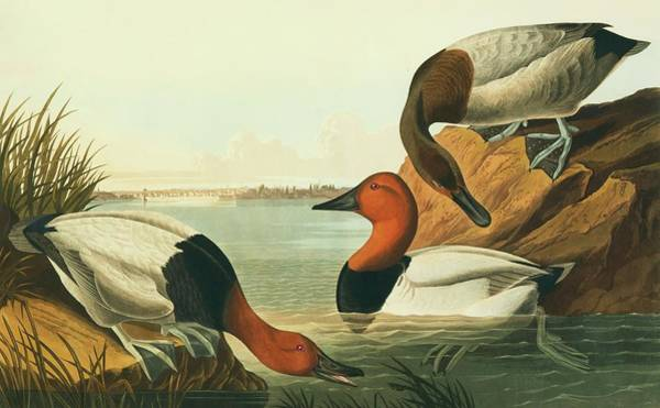 Wall Art - Photograph - Canvasback Ducks  by Natural History Museum, London/science Photo Library