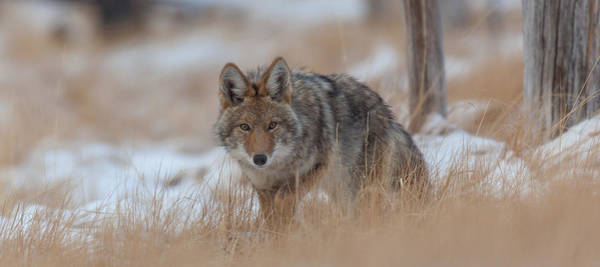Photograph - Canyon Coyote by Kevin  Dietrich