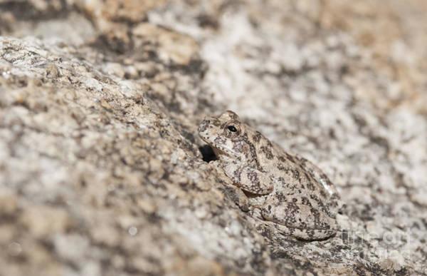 Photograph - Canyon Treefrog by Dan Suzio