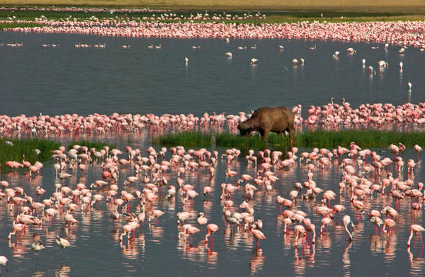 Water Birds Photograph - Cape Buffalo And Lesser Flamingos by Panoramic Images
